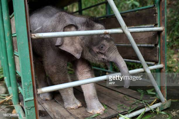 Threemonthold baby pygmy elephant 'Joe' stands inside a temporary holding cage at Lok Kawi Wildlife Park in Kota Kinabalu in Malaysia's Sabah state...