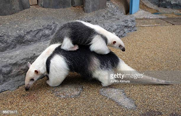 "Three-month-old baby Southern Tamandua ""Konbu"" lies on its mother Tae's back at Sunshine International Aquarium on July 7, 2009 in Tokyo, Japan. A..."