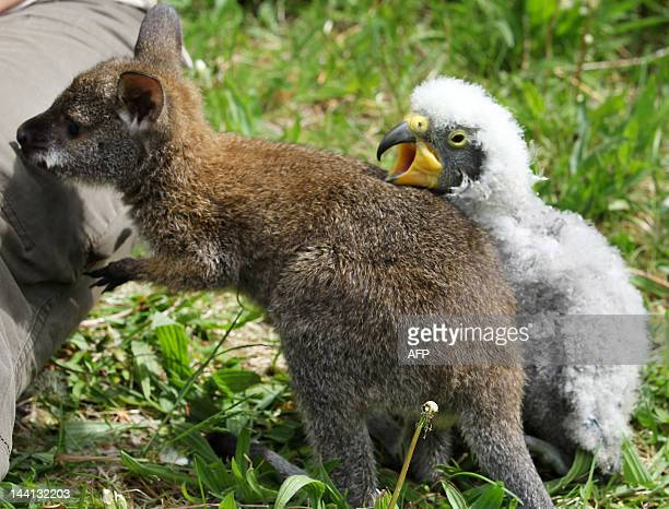 A threemonthold kangaroo named Anabelle and a young Kea check out the enclosure at the zoo in Marlow eastern Germany on May 10 2012 AFP PHOTO / BERND...