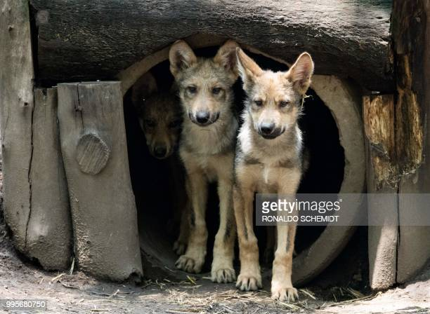 Threemonthold Mexican wolves are seen at the Coyotes Zoo in Mexico City on July 10 2018 Eight Mexican wolf cubs born in April at the zoo give new...