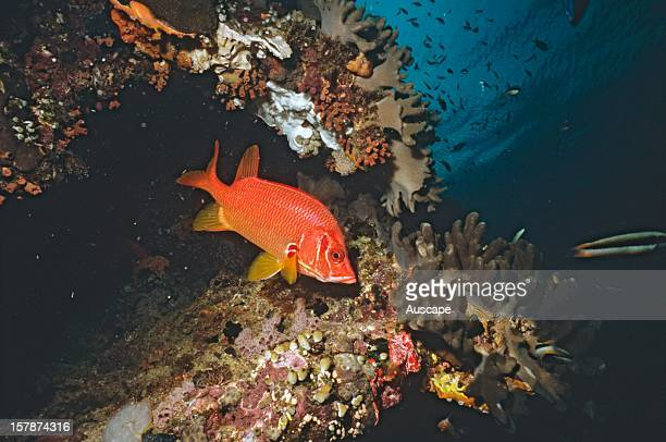 Threespot squirrelfish a nocturnal species Great Barrier Reef Queensland Australia