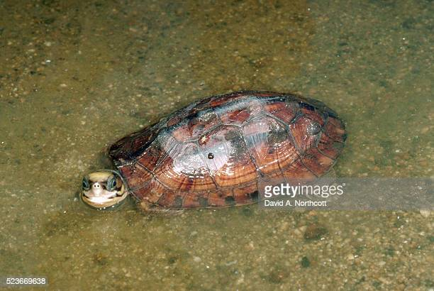 three-stripe asian box turtle in shallow water - box turtle stock pictures, royalty-free photos & images