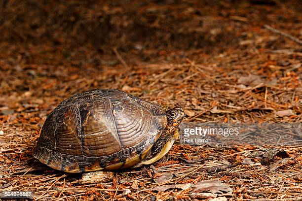 three-toed box turtle in a forest - box turtle stock photos and pictures