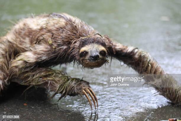 three-toed sloth bathing, san francisco, california, usa - three toed sloth stock pictures, royalty-free photos & images