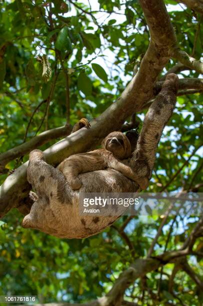 A Threetoed sloth carrying a baby in a tree in the rain forest along the Ucayali River in the Peruvian Amazon River basin near Iquitos