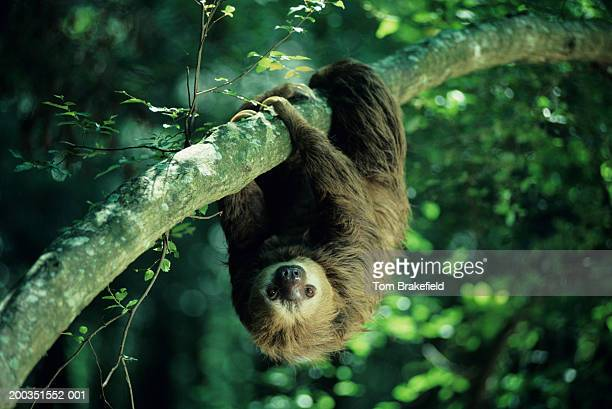 three-toed sloth, central or south america - südamerika stock-fotos und bilder
