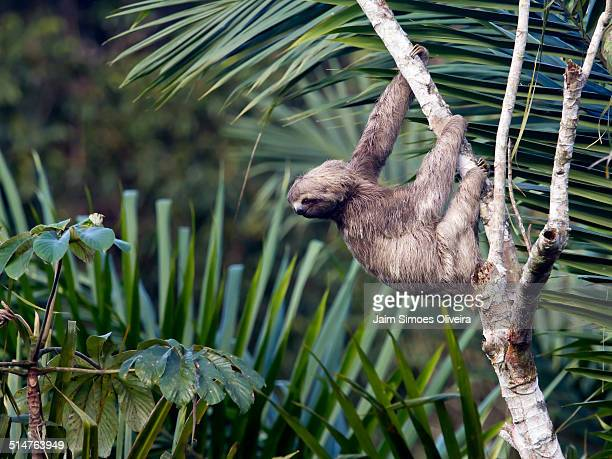 A Three-toed Sloth Hanging a Tree