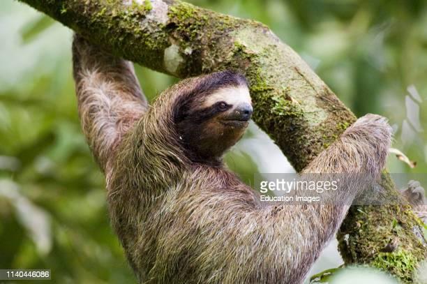 Threetoed Sloth in tree El Valle Panama
