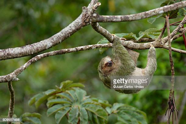 Three-toed Sloth (Bradypus variegatus) on cecropia tree