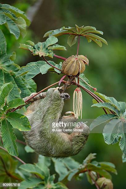 three-toed sloth (bradypus variegatus) on cecropia tree - three toed sloth stock pictures, royalty-free photos & images