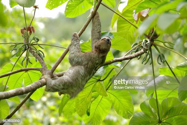 three-toed sloth (bradypus variegatus) on cecropia tree - three toed sloth stock photos and pictures