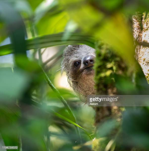 three-toed sloth - mammal stock pictures, royalty-free photos & images