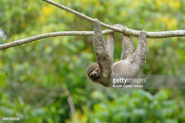 Three-toed Sloth (Bradypus variegatus)
