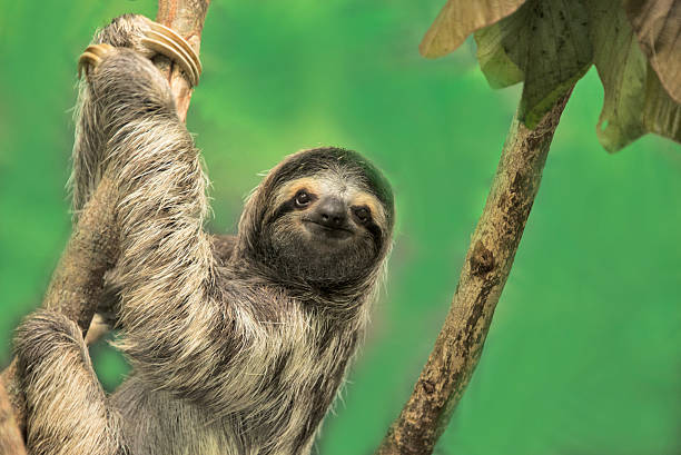 three-toed sloth - sloth animal stock pictures, royalty-free photos & images