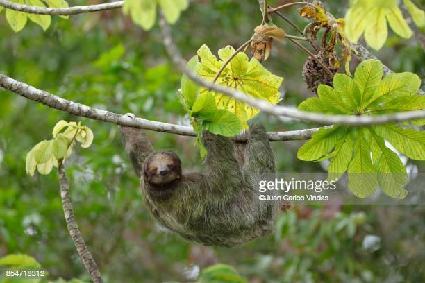 three-toed sloth - three toed sloth stock photos and pictures