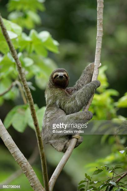 three-toed sloth (bradypus variegatus) - three toed sloth stock pictures, royalty-free photos & images