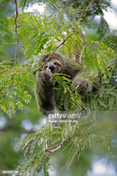 three-toed sloth - three toed sloth stock pictures, royalty-free photos & images