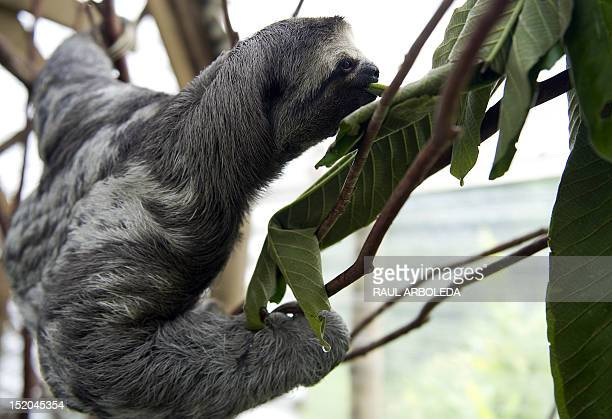 A threetoed sloth plays at the Aiunau Foundation in Caldas some 25 km south of Medellin Antioquia department Colombia on September 15 2012 Croatian...