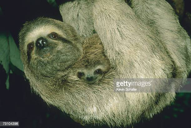 three-toed sloth with baby (bradypus variegatus) close-up - three toed sloth stock photos and pictures