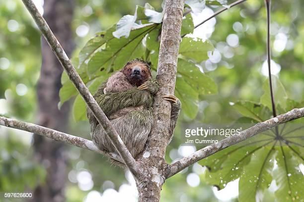 Three-toed sloth with baby (Bradypus tridactylus)