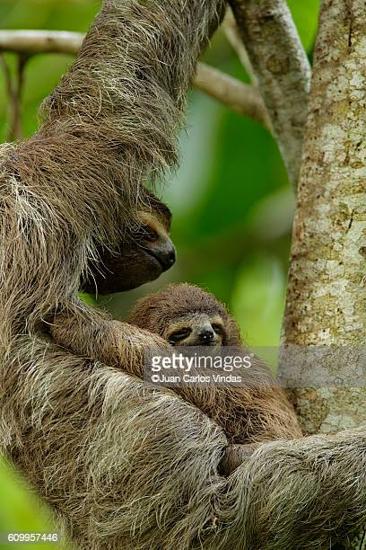 Three-toed Sloth (Bradypus variegatus) with baby