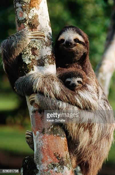three-toed tree sloth with young - three toed sloth stock pictures, royalty-free photos & images