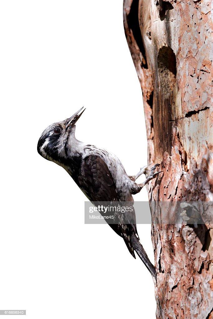 Three-toed woodpecker, Picoides tridactylus : Stock Photo