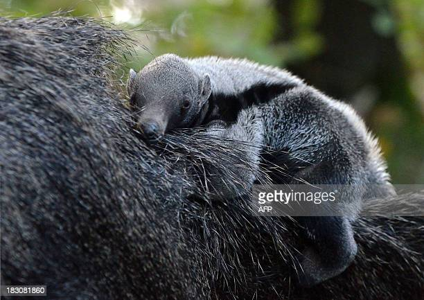 A threeweek young porcupine baby lies on its mother in their enclosure at the zoo in Szeged Hungary on October 3 2013 The porcupine was born on...