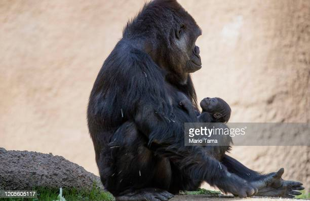 Three-week-old baby girl gorilla, as yet unnamed, clings to her mother N'djia at the L.A. Zoo on February 11, 2020 in Los Angeles, California....