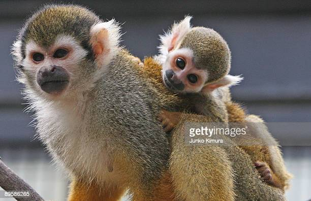 A threeweekold baby squirrel monkey clings to its mother's back at Edogawa Natural Zoo on August 4 2009 in Tokyo Japan