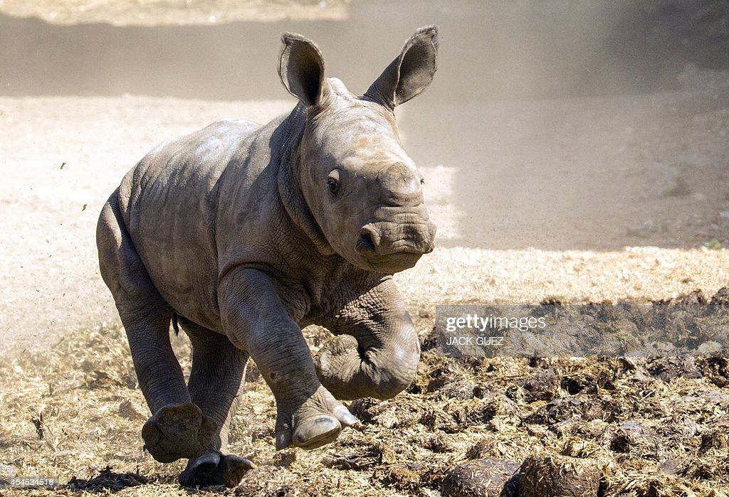 A three-week-old female White Rhinoceros runs at the Ramat Gan Safari, an open-air zoo near Tel Aviv, on September 3, 2014. The Safari Park reported that they have had two male White Rhinos born at the facility but she is the first female born there in 20 years. The new female rhino will eventually be transferred to other zoos to take part in the White Rhino reproduction project aimed at increasing the population of this species in a zoo.