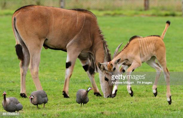 Threeweekold Nisbet the baby Eland chases Guinea Fowl as she makes her public debut at Blair Drummond Safari Park near Stirling The calf was born on...