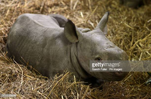 A threeweekold unnamed Black Rhino calf in his enclosure at Port Lympne Wild Animal Park in Kent