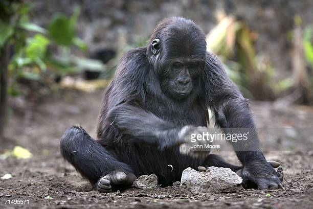 Threeyear old lowland gorilla orphan Itibero breaks a palm nut with a stone July 18 2006 at the Diane Fossey gorilla center in Goma in the eastern...