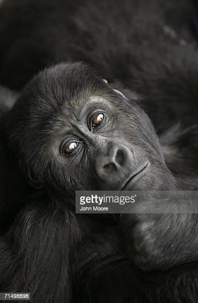 Threeyear old lowland gorilla Pinga rests July 18 2006 at the Diane Fossey gorilla center in Goma in the eastern Democratic Republic of Congo She and...