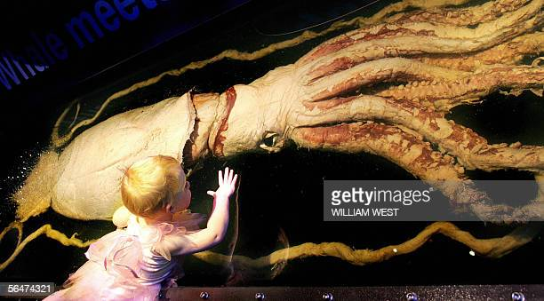Threeyearold Clea Gadsby inspects a ten metre long giant squid which looks up at her with its giant eye at a display of amazing marine life at the...
