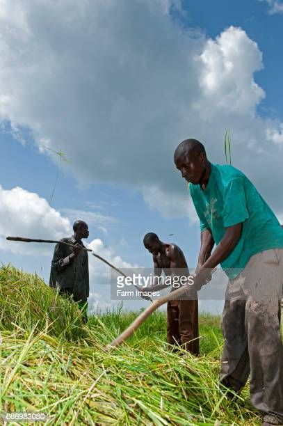 Threshing cut rice plants with flails to collect rice grains Uganda
