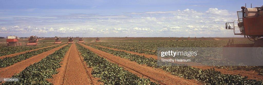 Threshing machines working rows of lima beans : Stock Photo