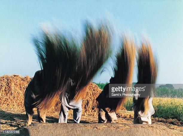 threshing - punjab pakistan stock pictures, royalty-free photos & images