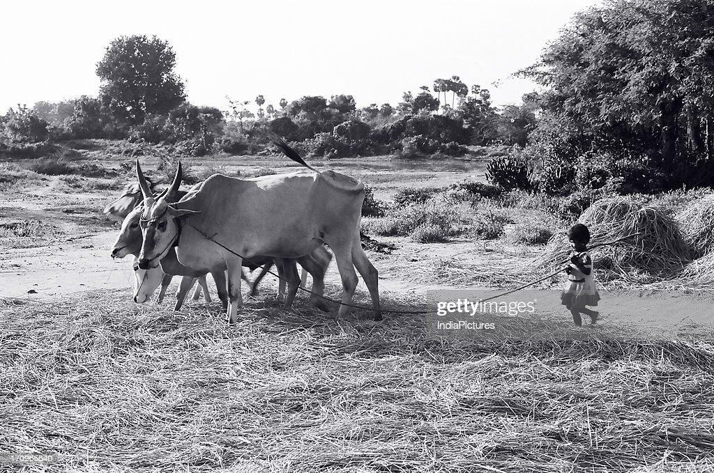 Threshing rice with cattle, Pudukkottai, Tamil Nadu, India   News