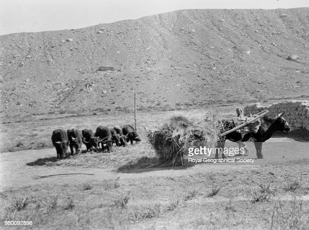 Threshing scene ox on left with women and groups of oxen going around pole China 1920