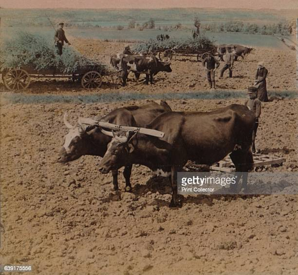 Thrifty countryfolk with their cattle at work on a farm near Jonkoping Sweden' 1905 From The Underwood Travel Library [Underwood Underwood London New...
