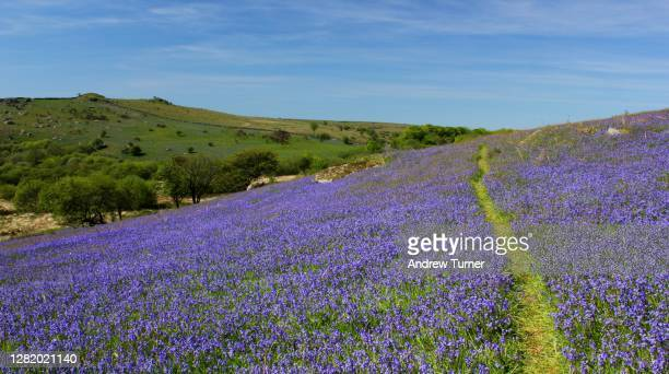 through the bluebells - springtime stock pictures, royalty-free photos & images