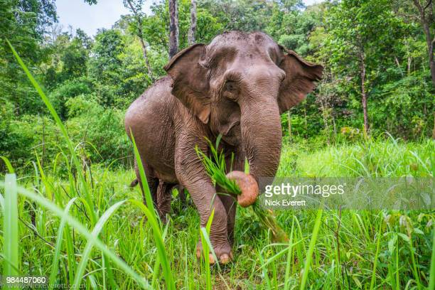 through the long grass - asian elephant stock pictures, royalty-free photos & images