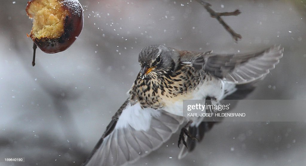 A thrush flies towards an apple in a garden in Kaufbeuren,southern Germany, on January 17, 2013. Thrush are insectivorous, but most species also eat land snails, worms, and fruit.