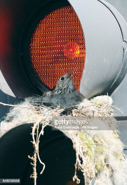 A thrush looks out from its unusual nest inside a traffic light in Leeds city centre