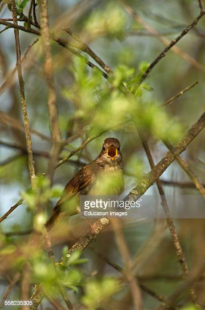 Thrush Nightingale Luscinia luscinia Denmark