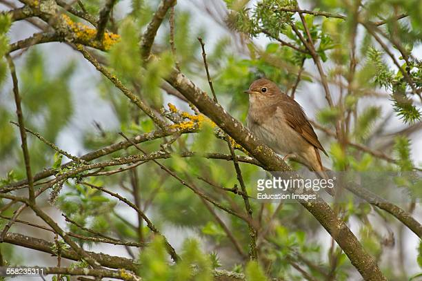 Thrush Nightingale Luscinia luscinia Denmark