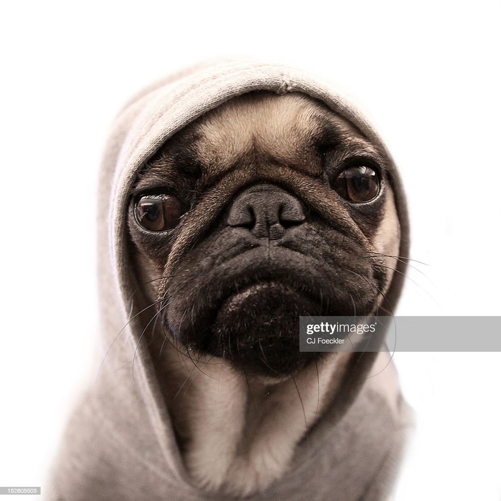 Close up of pug wearing hoodie.