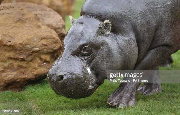 Thug the 17yearold pygmy hippo explores his new enclosure in London Zoo in central London